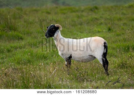 English sheared sheep on the meadow. Devon. England