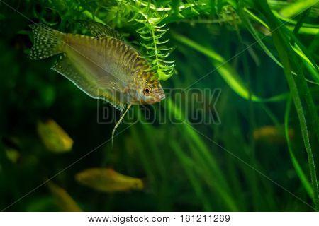 Aquarium Fish Golden gourami - Trichogaster trichopterus Gold