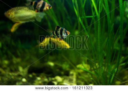 Tiger barb or Sumatra barb fish (Puntius Sumatra)