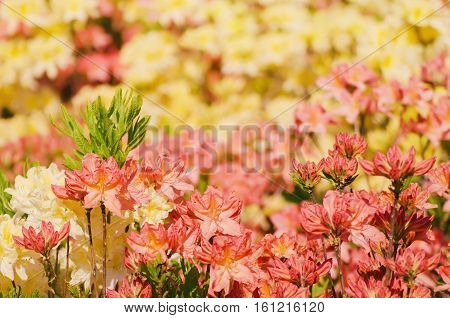 Blossoming of pink, yellow and red rhododendrons and azaleas in the garden, natural flower background