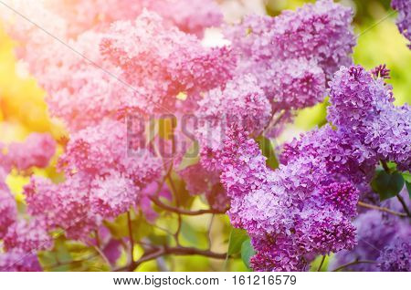 Branch of lilac flowers with the leaves, macro image with sunshine