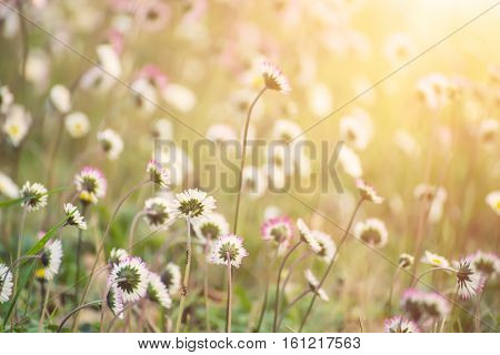 Spring marguerite daisy flower in green grass, natural holiday vintage hipster sunny background with copy space