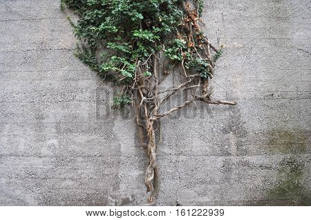 Ivy Plant On Wall