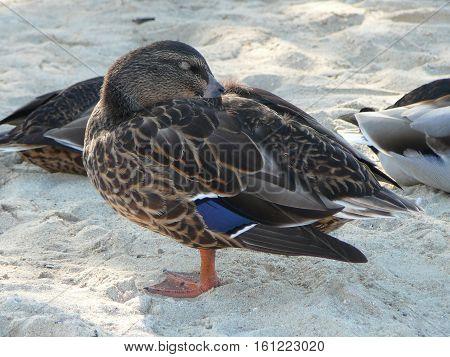 Teal Duck Bird Animal