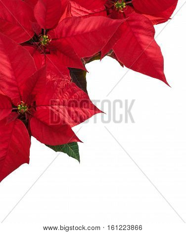 Christmas border with three red poinsettia flower in corner on white copy space for text.