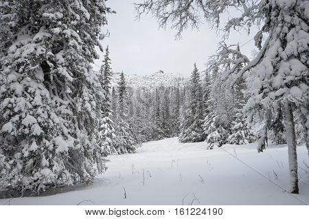Mountain forest with many trees under the snow in winter, Russia, Ural.