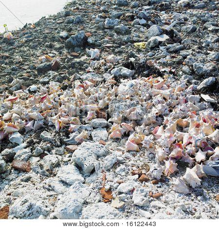 seashells, Cayo Sabinal, Camaguey Province, Cuba poster