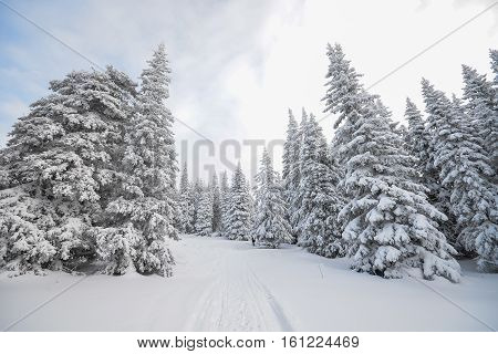 Snowy forest with a trail in nice winter day.