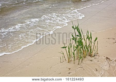 In the wet sand on the shore of the reservoir cane growing. Wet Sand. Weather gloomy and cold. Reed or cane with green leaves. Several reeds. The water in the water is turbid yellowish. Landscape without people.