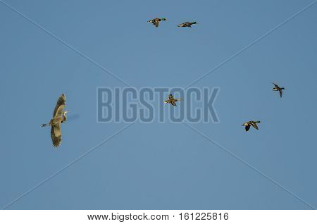 Great Blue Heron Flying with a Flock of Mallard Ducks in a Blue Sky