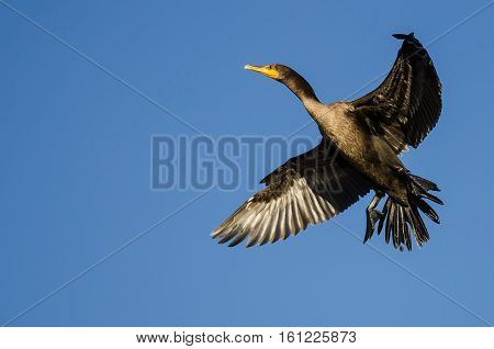 Double-Crested Cormorant Flying in a Blue Sky