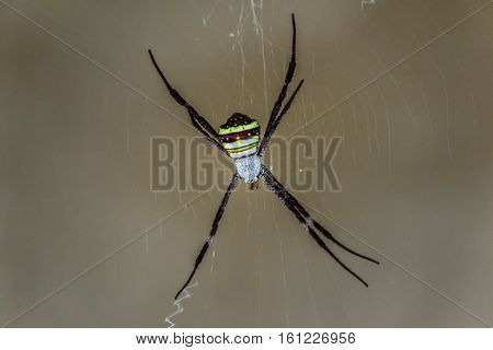 Spider on a spider web with a gray background