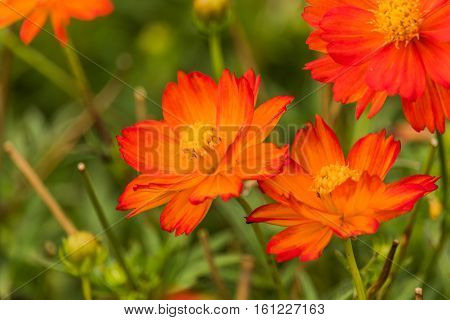 Orange cosmos flower in the field with green background.