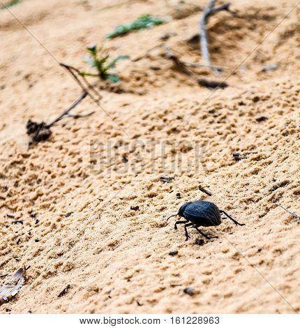 Dark beetle from Tonga ,el Kala ,Algeria