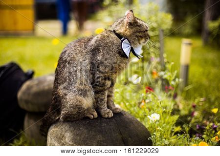 gray cat in bow tie sits on a rock cat attire preparing for the wedding unusual wedding guest