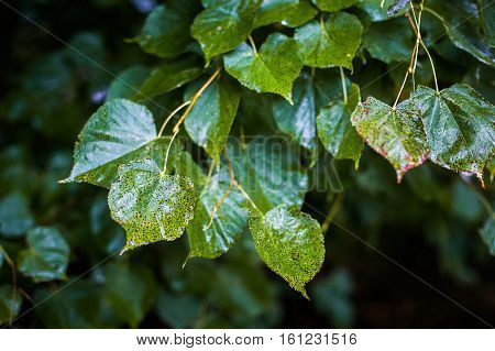 background wet green leaves autumn comes the leaves turn yellow the leaves of the rain beautiful green background seasons