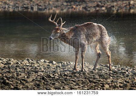 eight point male buck mule deer shaking off by creek