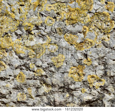 Old grey rock with many yellow lichens