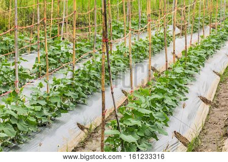 cucumber garden in asia Thailand , asia