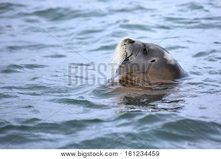 Bearded seal sleeping in the water