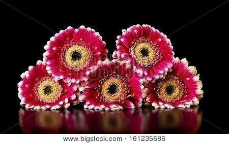 pink gerberas on a black background