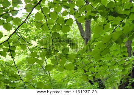 Nature background. Green tree. Summer nature. Summer tree.
