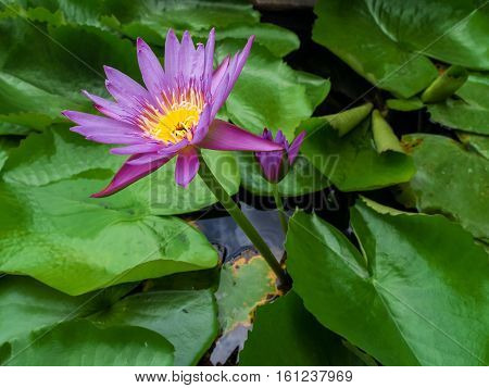 The Purple Lotus in the garden , Feeling fresh