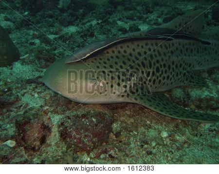 Close-up Leopard shark with echeneis. Similan Islands. poster
