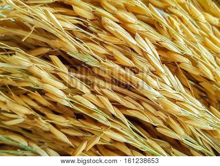 Golden Paddy rice jasmine rice also know as Hommali rice