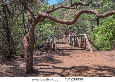 Curved, crooked tree, wooden bridge and red earth in Municipal Mangabeiras Park, Belo Horizonte, Brazil