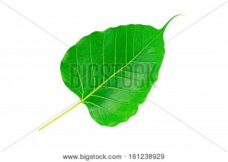 Sacred fig leaf (Ficus religiosa L. , Pipal Tree, Bohhi Tree, Bo Tree, Peepul ) on white background.Saved with clipping path.