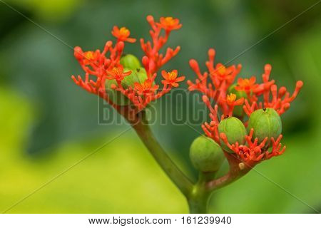 Closeup poisonous flower photo of Buddha belly plant, bottleplant shrub (Jatropha podagrica) in the garden in Singapore