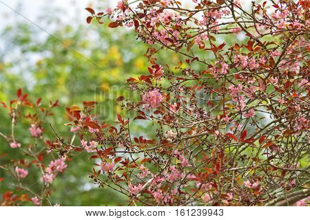 Pink mempat tree with flowers blossoming in the garden in Singapore (Cratoxylum formosum)