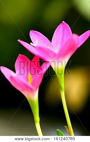 Pink beautiful Fairy lily in garden, thailand
