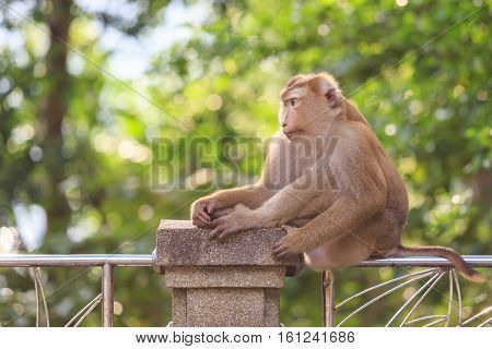 Brown Monkey Sitting In The Park Of Thailand