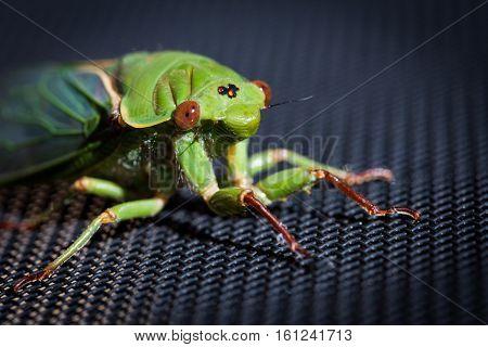 The Green Grocer Cicada On Dark Background