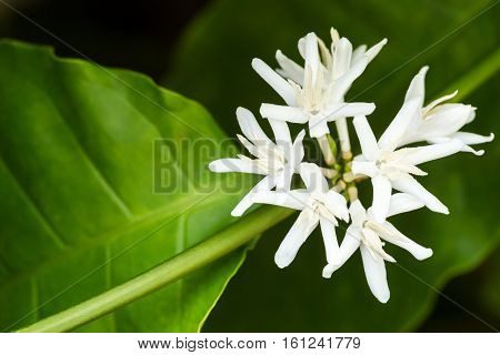 White Fresh Coffee Flower On Tree In Tropical Field