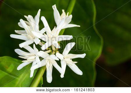 White Fresh Coffee Flower On Tree In Tropical Field