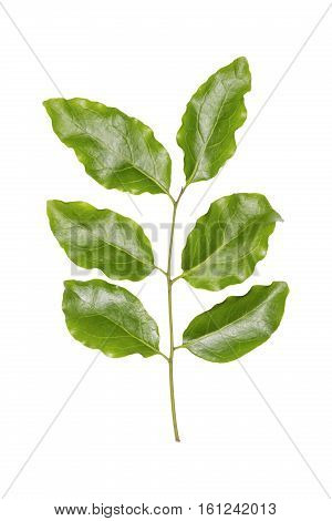 Dendrophthoe pentandra twig a hemiparasitic plant host plant of Painted Jezebel butterfly isolated on white background with clipping path