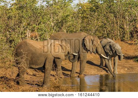 african bush elephants drinking in the riverbank in Kruger Park, South Africa
