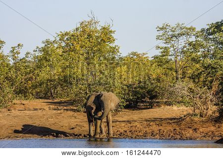 african bush elephant drinking in the riverbank in Africa