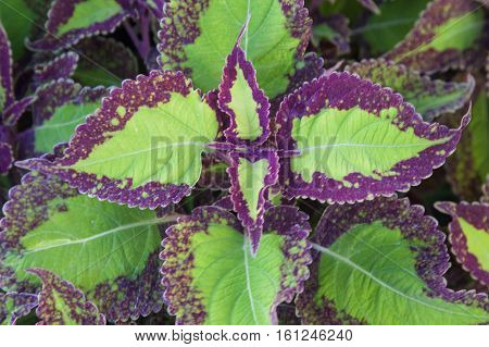 Symmetric purple tinged coleus leaves abound in a forest of green leaves.