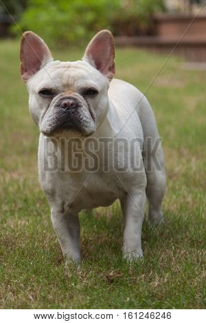 French bulldog poses in mid-stride crossing yard