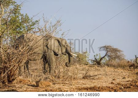 african bush elephant standing in savannah, in Kruger national park, South Africa