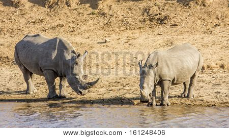 african white rhinoceros in the riverbank, in Kruger Park, South Africa