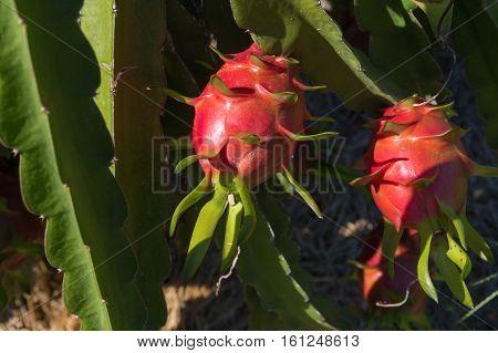 Dragon Fruit Or Pitaya Plantation In Thailand