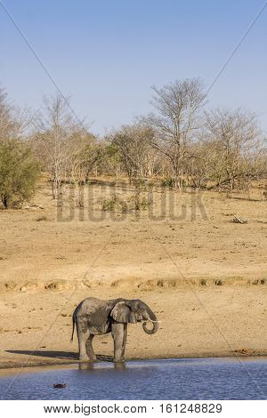 african bush elephant drinking in the riverbank, in Kruger Park, South Africa
