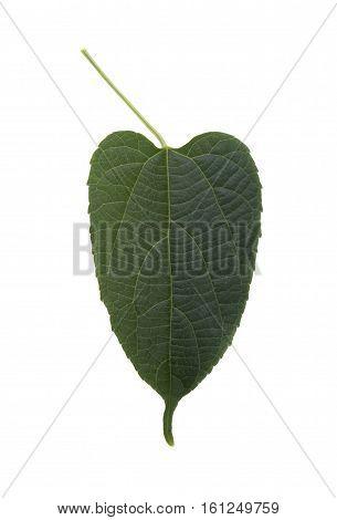 Tree trunks Sacha Inchi on white background fresh capsule seeds fruit of sacha-Inchi peanut.