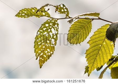Leaves eaten by insects with a cloudy sky background.