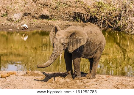 baby african bush elephant in the riverbank, digging the sand to find water, Kruger , South Africa